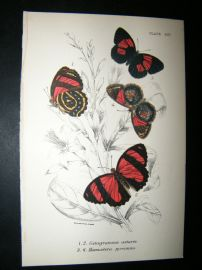 Allen & Kirby 1890's Antique Butterfly Print. Catagramma Astarte